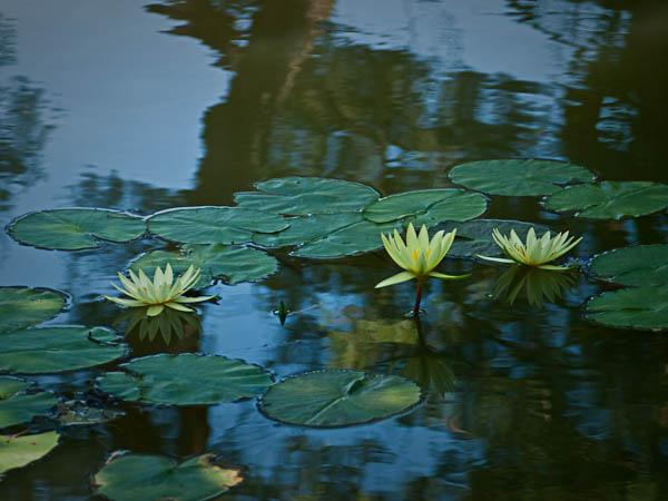 Lilies at Chicago Botanic Garden