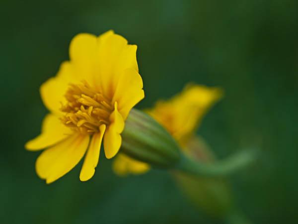 Yellow Flowers at Allen Centennial Garden