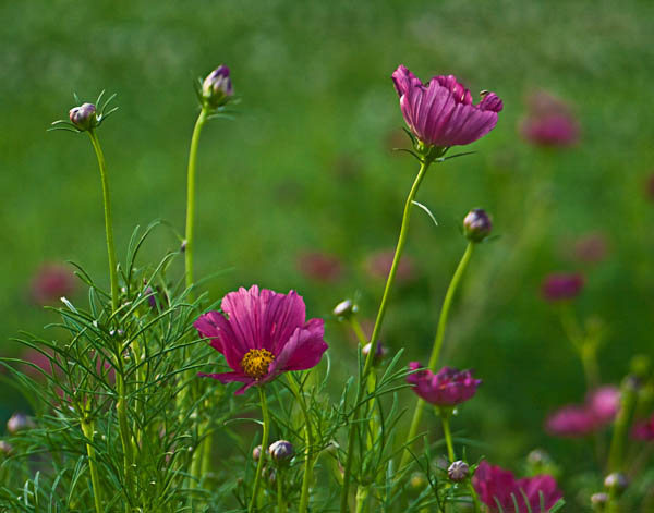 A Field of Cosmos at West Madison Test Gardens in Madison Wisconsin