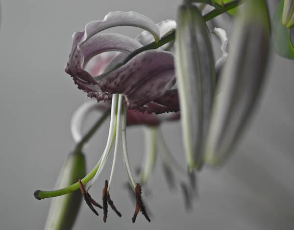 'Black Beauty' Lily in Digital Desaturation