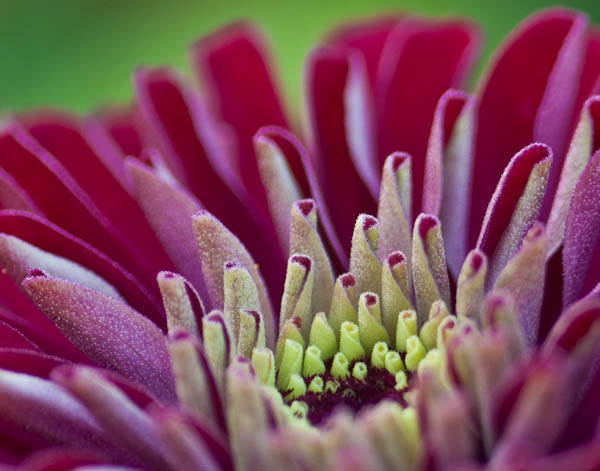Red Zinnia in Red and Green