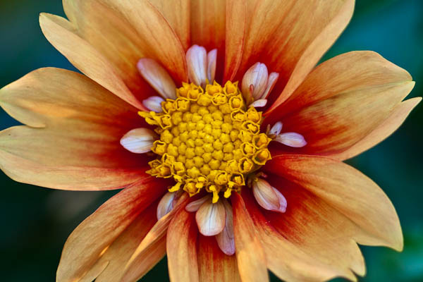 'Esther' Dahlia at Olbrich Botanical Gardens in Madison Wisconsin