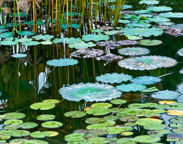 Lily Pads after Thunderstorm at Allen Centennial Gardens at UW Madison