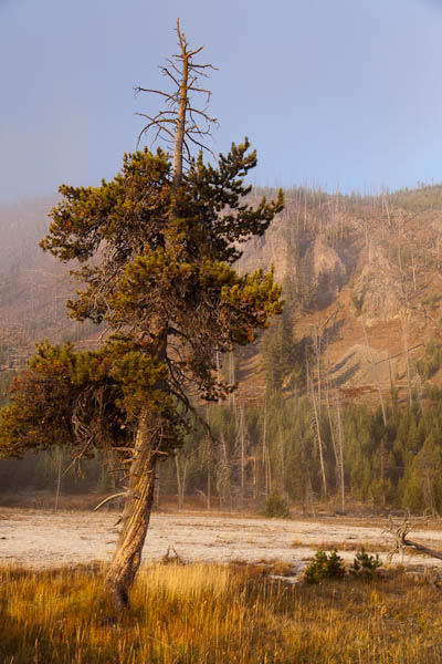 Sunlit Tree at Black Sand Basin in Yellowstone
