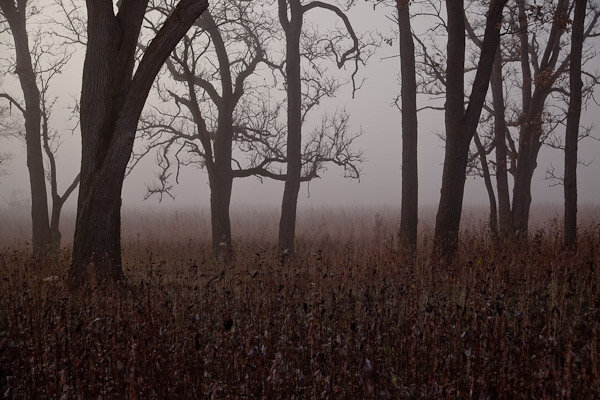 Row of Oaks in Owen Conservation Park in Madison, Wisconsin