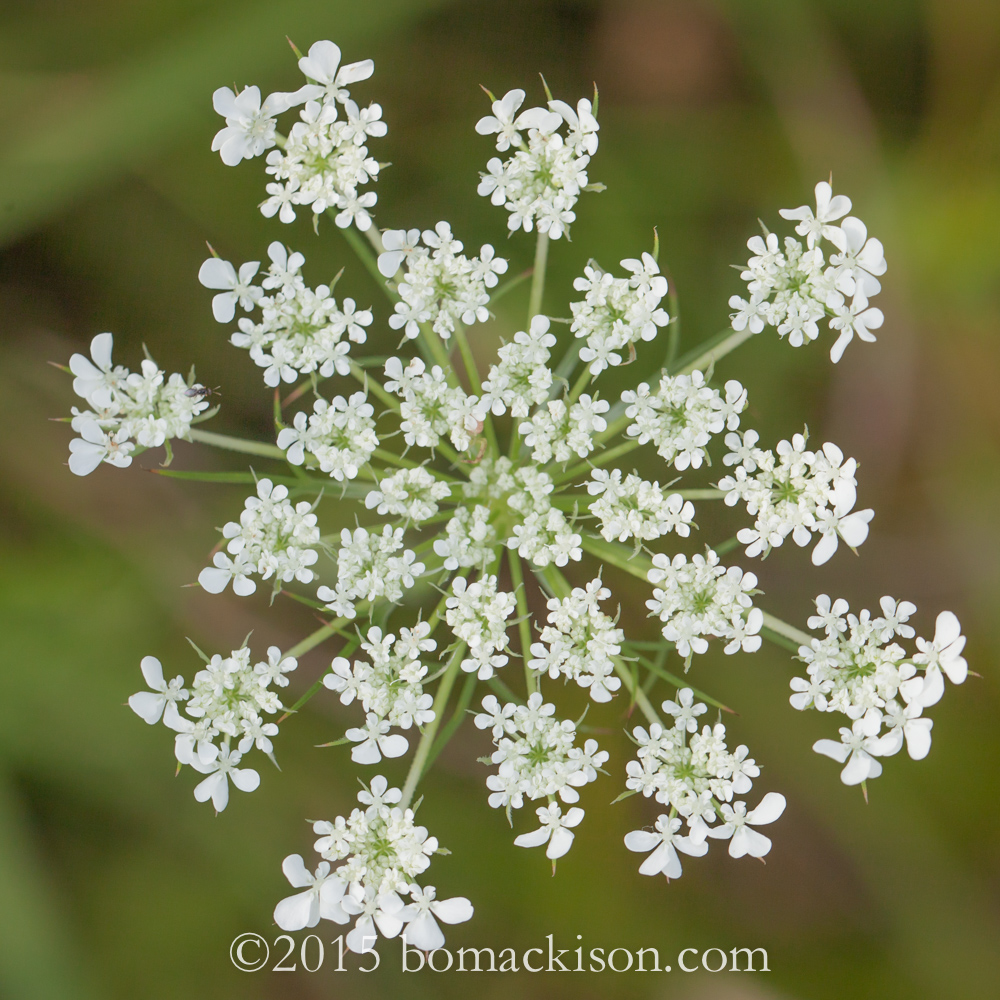 Queen Anne's Lace © 2015 Bo Mackison