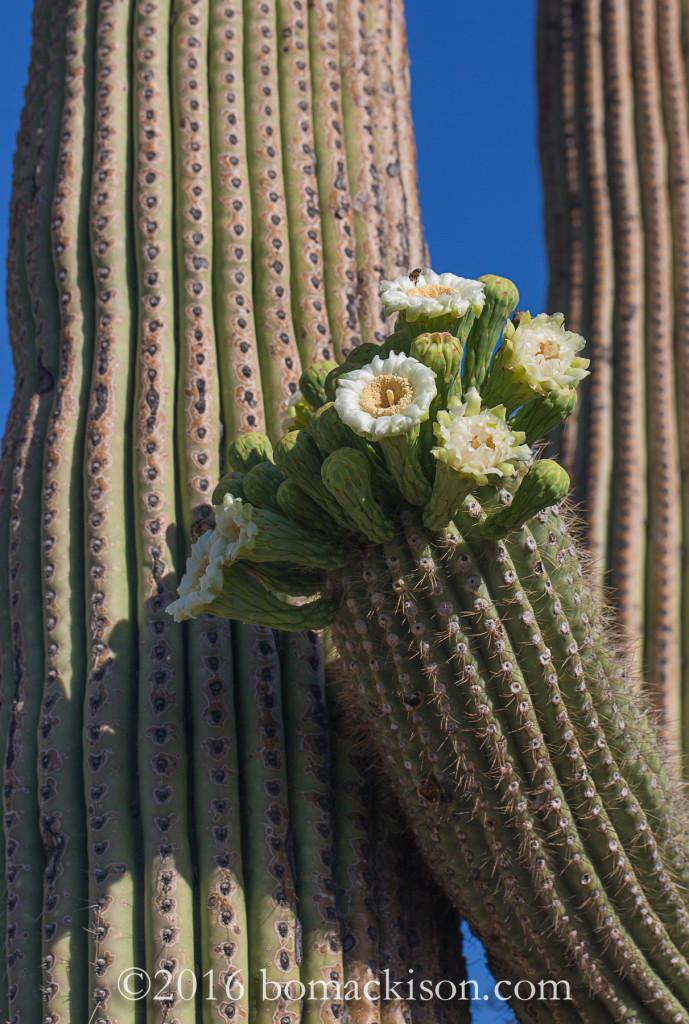 Saguaro in Bloom ©2016 Bo Mackison