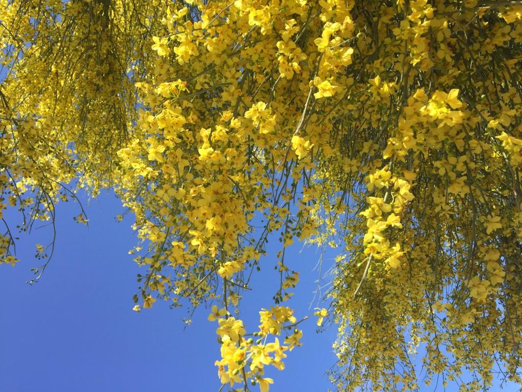 A Profusion of Palo Verde Yellow © 2016 Bo Mackison